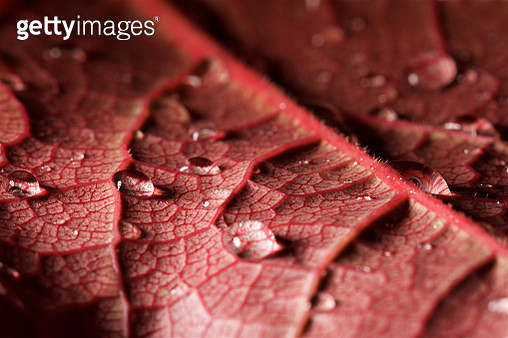 Red Leaf with Water Droplets - gettyimageskorea
