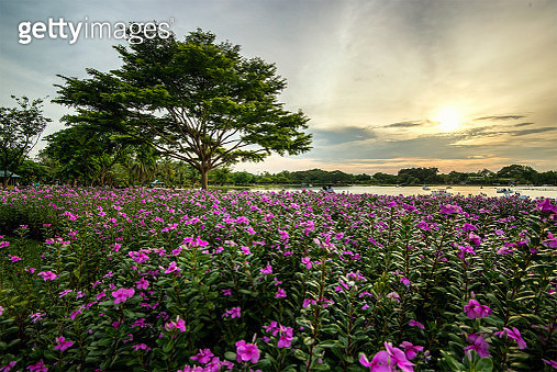 Beautiful Pink Flower or Catharanthus Roseus Field with a Tree - gettyimageskorea
