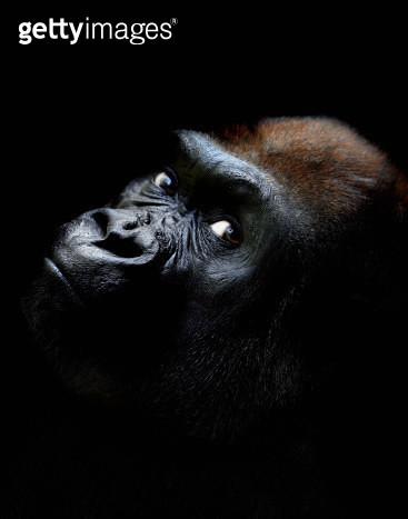 Western lowland gorilla against black background, close-up - gettyimageskorea