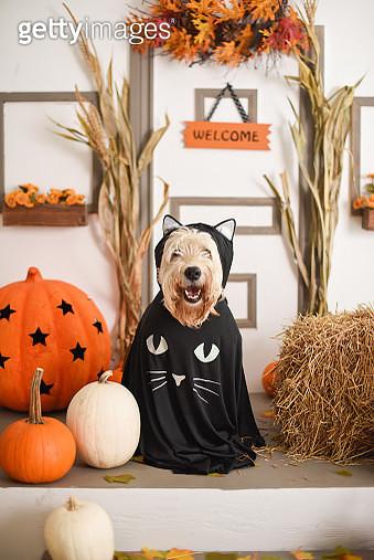 Dog dressed up for halloween - gettyimageskorea