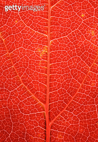 A close up of an Autumnal leaf photographed in the studio with LED light behind it to reveal detail in the veins to give beautiful vibrant colours, contrasts and patterns. This photograph would make fantastic wall art or could be used for example for biol - gettyimageskorea