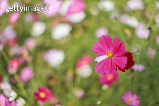 코스모스, 가을, 꽃, 식물 - gettyimageskorea