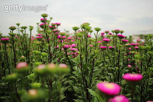 Close-Up Of Pink Flowering Plants On Field - gettyimageskorea