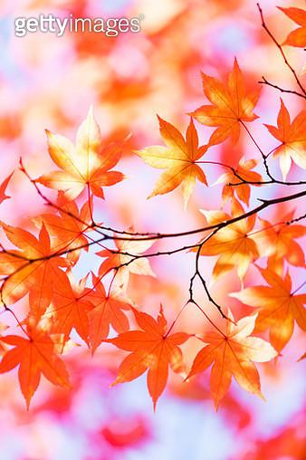 Autumn Orange Leaves With Morning Sunlight - gettyimageskorea