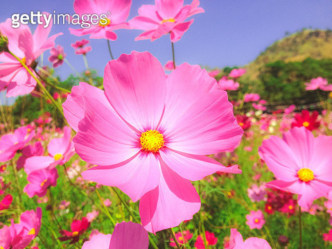 Close-Up Of Pink Cosmos Flowers - gettyimageskorea