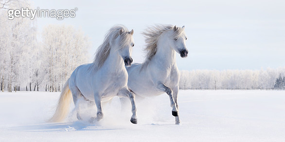 Two galloping white Welsh ponies - gettyimageskorea