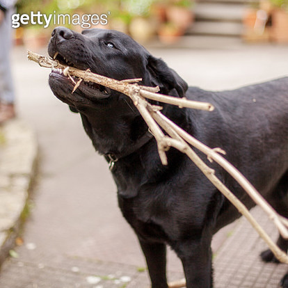 dog with stick - gettyimageskorea