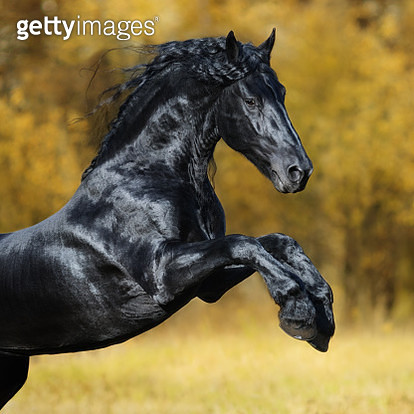 The black Friesian horse - gettyimageskorea