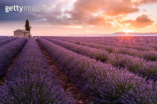 Lavender field and lonely house and tree in Valensole Plateau, full bloom, clouds and sunrise. Provence, Southern France - gettyimageskorea