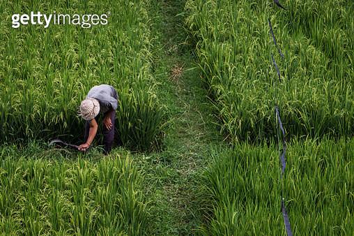 A Rice Field - gettyimageskorea