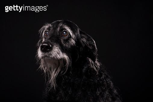 Senior labradoodle photographed in the studio - gettyimageskorea