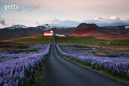 Lupin fields and church at sunrise, Snaefellsnes peninsula, Iceland - gettyimageskorea