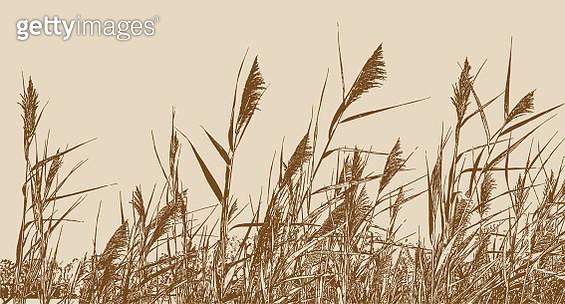 Marsh grass Phragmites Australis. Common Reed. - gettyimageskorea