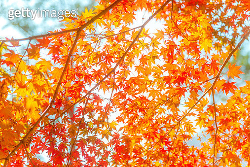 Beautiful pattern of illuminated red-orange color of maple leaves. - gettyimageskorea