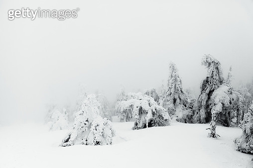 Snowy trees - gettyimageskorea