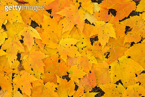 Colorful and bright background made of fallen autumn leaves - gettyimageskorea