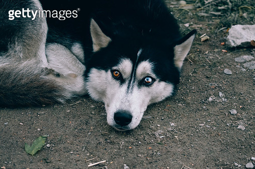 dog Husky with different eyes - gettyimageskorea