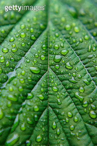 Water droplets glisten on the veined surface of a lush green leaf on a Nature Reserve in Cumbria, UK. - gettyimageskorea