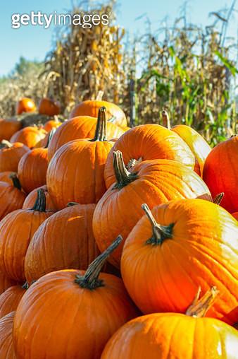 Pumpkin Season - gettyimageskorea
