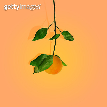 Satsuma tangerine orange on branch with leaves on gradient background with shadow. - gettyimageskorea