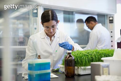 Scientist conducting GMO plant experiment in laboratory - gettyimageskorea