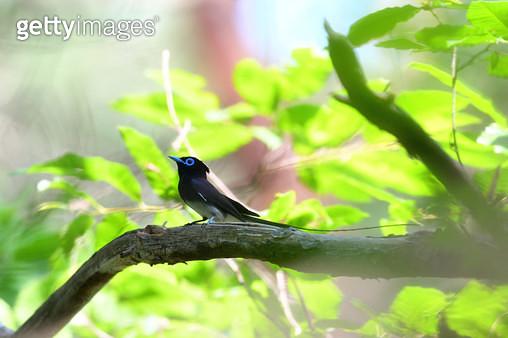 긴꼬리딱새 - gettyimageskorea