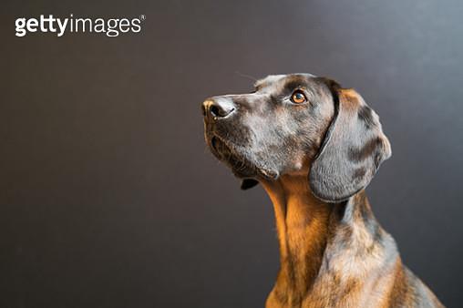 Dog portrait studio shot - gettyimageskorea