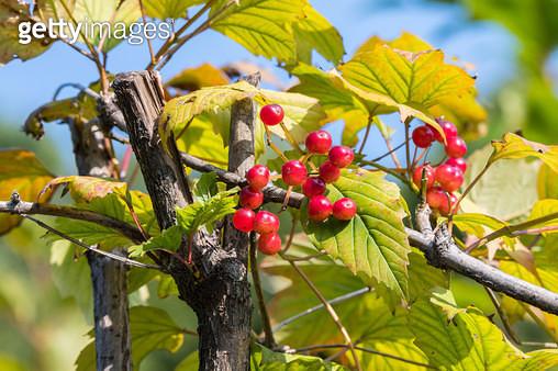 백당나무 열매 - gettyimageskorea