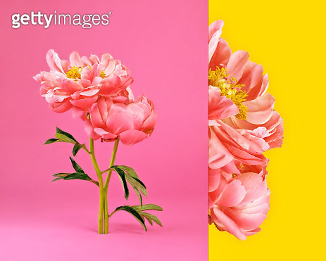 Side by side composite image of pink peonies in bloom with pink and yellow background. - gettyimageskorea