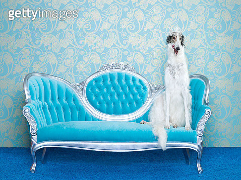Borzoi (Canis lupus familiaris) on couch - gettyimageskorea
