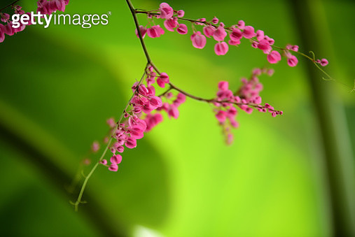 Close-Up Of Pink Flowering Plant - gettyimageskorea