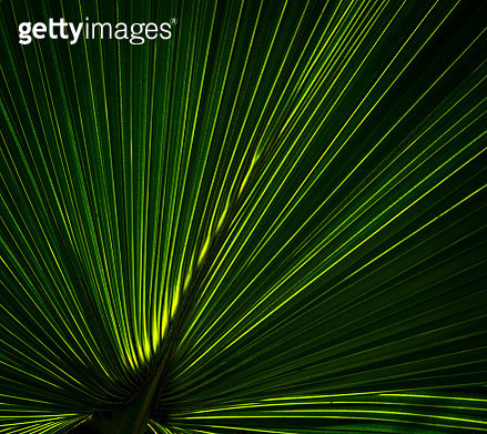 A close-up image of a yellow-green textured palm leaf. - gettyimageskorea