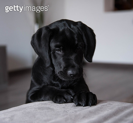 Close-up portrait of black labrador retriever sitting on bed at home,Borgaro Torinese,Turin,Italy - gettyimageskorea