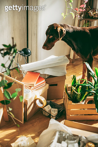 Dog checking the Cardboard Boxes - gettyimageskorea