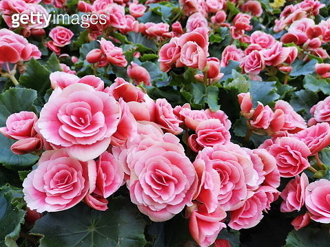 High Angle View Of Pink Roses - gettyimageskorea