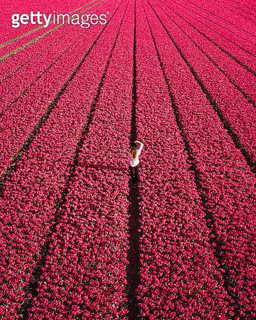 Tulip Fields - gettyimageskorea