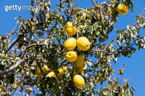 모과가 열린 모과나무 - gettyimageskorea
