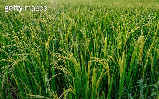 Full Frame Shot Of Wheat Field - gettyimageskorea