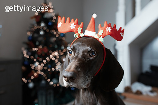 Cute brown dog wearing reindeer headband in the room decorated for Christmas - gettyimageskorea