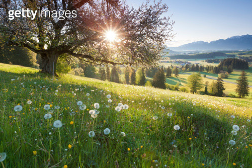 """backlight view through apple tree, summer meadow in bavaria, germany"" - gettyimageskorea"