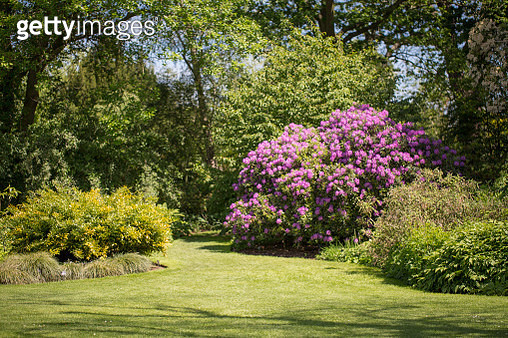 wide angle view of a pink blooming Azalea flowering tree in afternoon sunny light. - gettyimageskorea