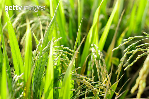 Close up of rice stalks in a rice paddy field. - gettyimageskorea