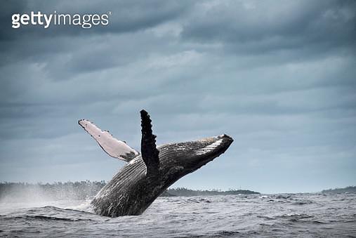 Humpback whale (Megaptera novaeangliae), breaching, Tonga, Fiji - gettyimageskorea
