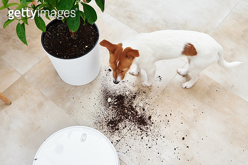 The Dog Scattered Plant Soil To The Floor. Pet Damage Concept. Robot Vacuum Cleaner Clean Floor - gettyimageskorea