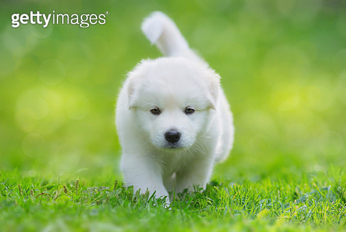 White puppy of mix breed in one and a half months old - gettyimageskorea
