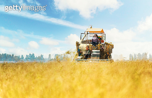 Combine Harvester working on the Yellow Rice Field with Blue Sky. - gettyimageskorea