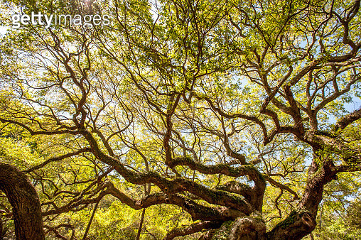 Green canopy of ancient Angel Oak (Quercus virginiana), Johns Island, South Carolina, USA - gettyimageskorea