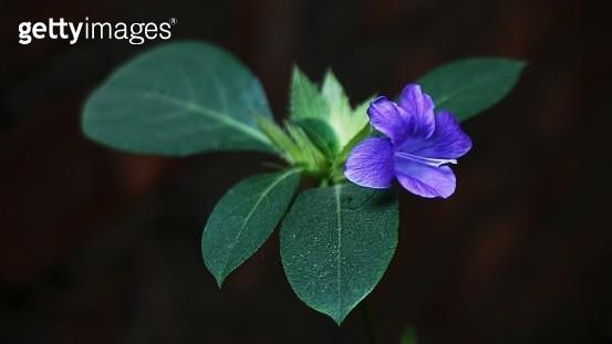 Close-Up Of Purple Flowering Plant - gettyimageskorea