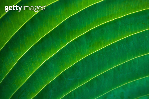 MAcro image of a backlit hosta leaf. - gettyimageskorea