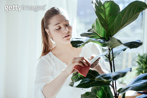 Young woman taking care of her rubber fig. - gettyimageskorea